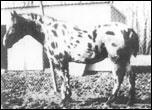 Patchy Yamini F-1907