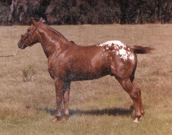 Daddy O, Sundance Appaloosa Stallion