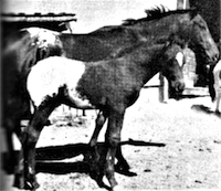 Hubbard's Butterfly and foal