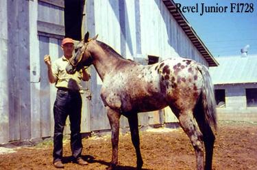 Revel Junior, Appaloosa Stallion
